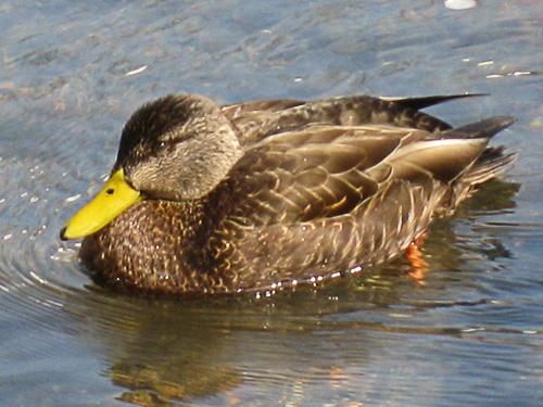 Male Black Duck (note the yellow beak)