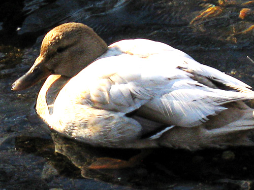 This mallard female is most likely the result of a cross between a wild duck and a domestic duck