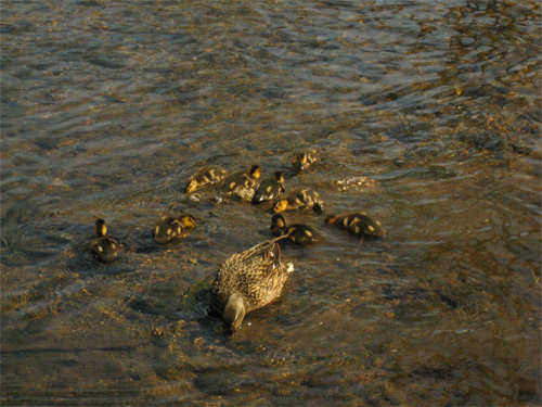 Mother mallard and ducklings out for mid morning meal